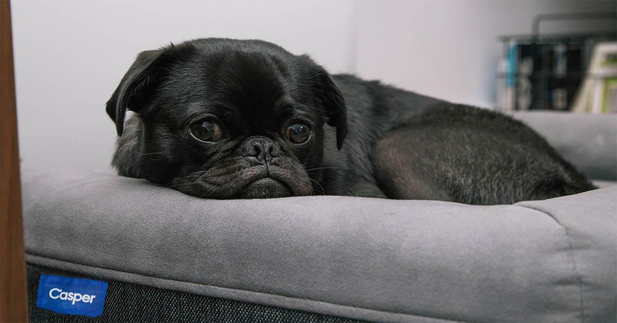 dog on a Casper mattress